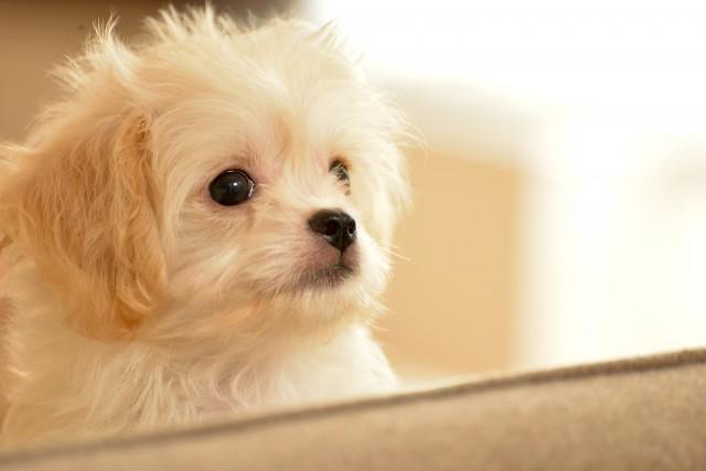必要な予防接種をきちんと受けている犬