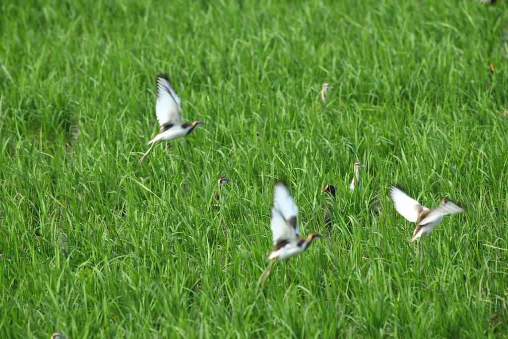 目前農地都是種稻,空水域的是打算種菱,也成為水雉和溼地鳥類的棲息地