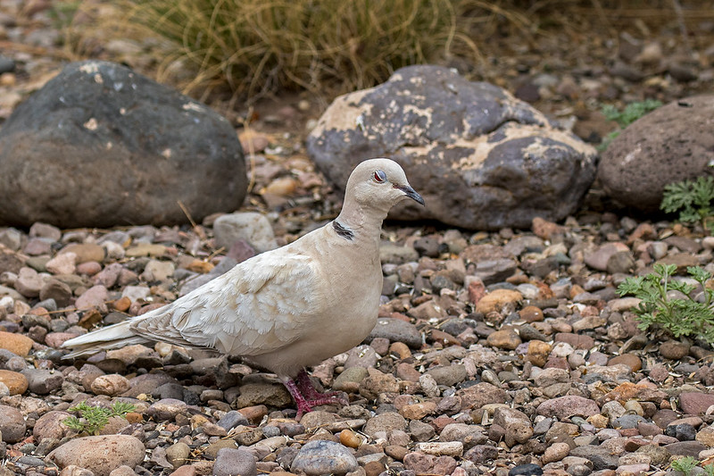 Ring-Turtle-Dove-7-7D2-042218