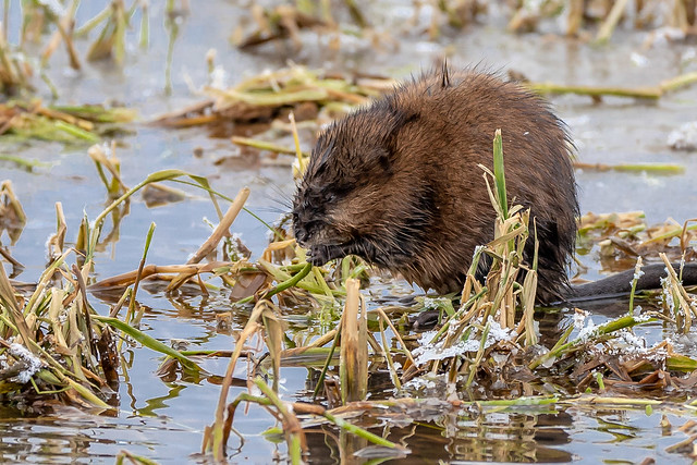 Muskrat at floating salad bar