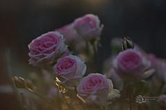 Abendlicht & Rosen