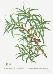 Common sea buckthorn (Hippophae rhamnoides) illustration from Tr