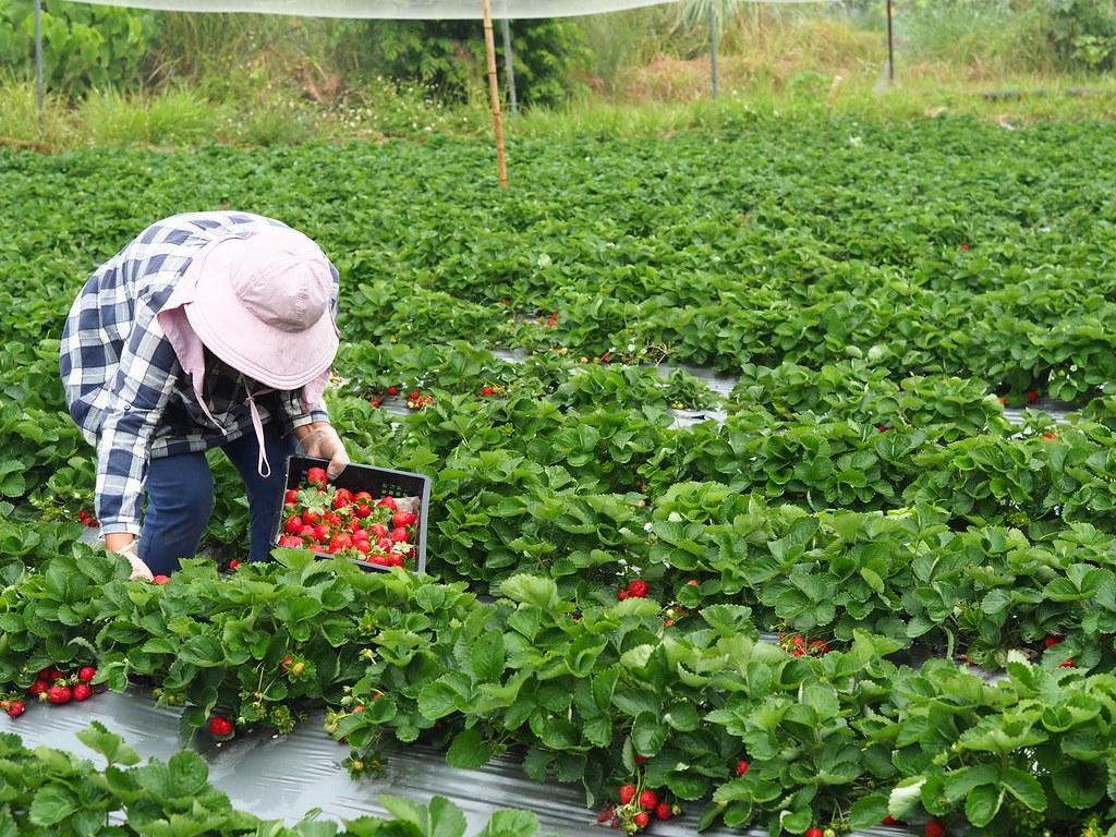 善化大安草莓 (12)