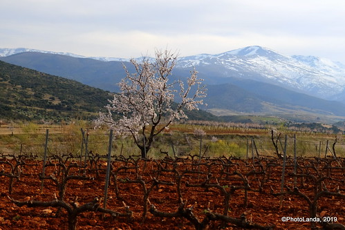 Vides y almendros - Grapes and almond trees