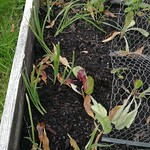 spring onion planting in Bigger vege bed by shiny