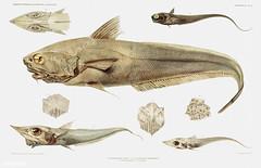 Fish varieties vintage poster