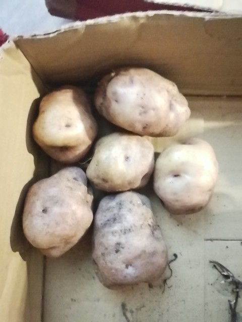 Whataroa seed potatoes