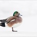 American Wigeon Profile by Daniel Cadieux