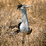1st Print. League 3 Colour - Kori Bustard, Tanzania by Bill Wastell