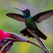 A Male Talamanca Hummingbird Spread Wings Out While On A Camas Lily