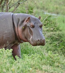 Hippo (Hippopotamus amphibius) out for dinner ...