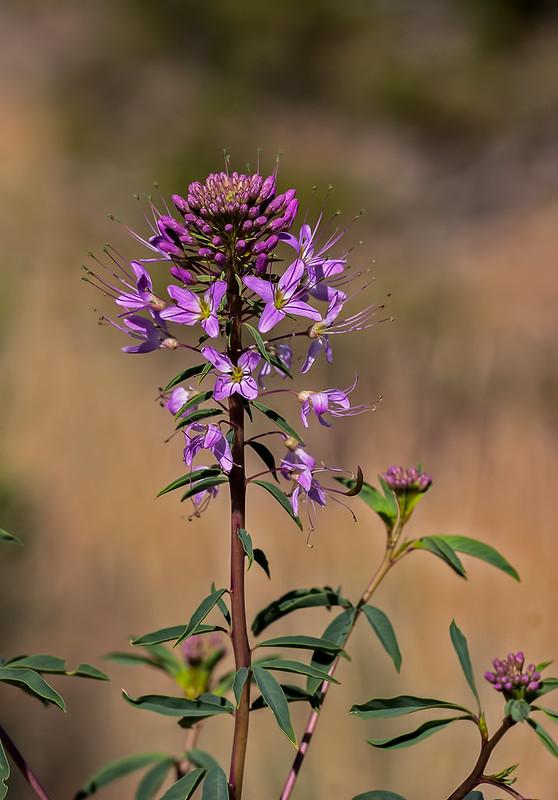 X-Wild-Flower-_6-14-15