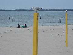 Gulls on Yellow Poles