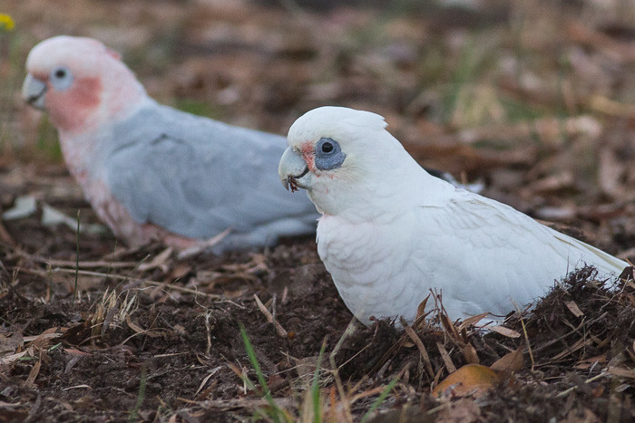 Galah and Little Corella