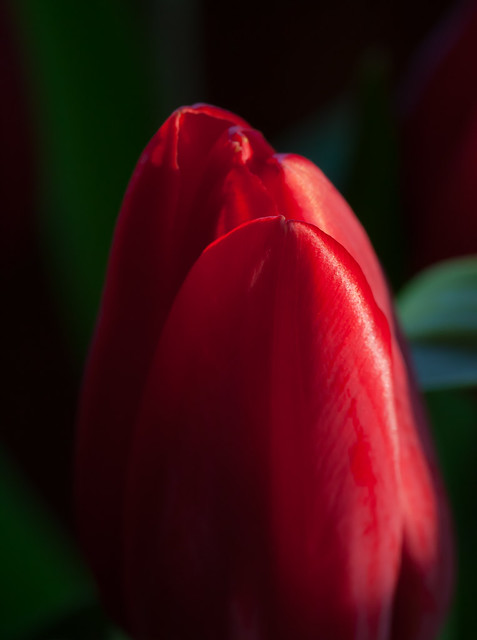 dramatic tulip