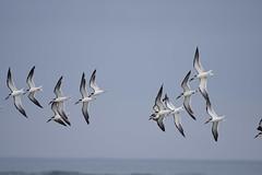 black skimmers birding Mason inlet NC 11.17DSC_0131
