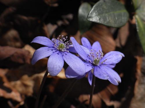 20110321 0208 320 Jakobus Blume blau