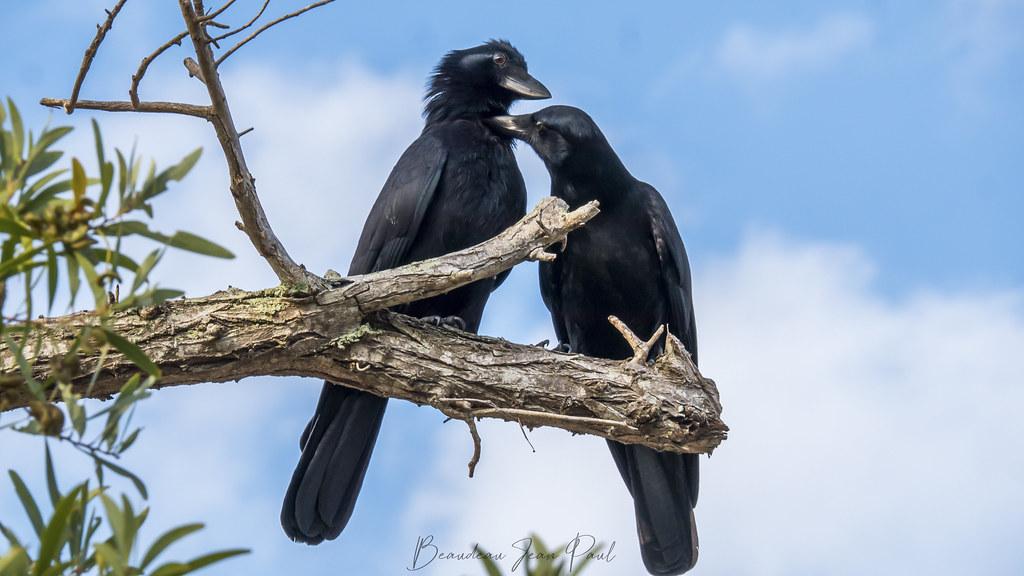 les mamours du corbeaux Calédonien 32489332777_c1a53c8bb4_b