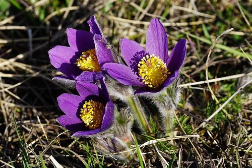 Kuhschellen in einem Naturschutzgebiet - Pasque flowers in a nature reserve