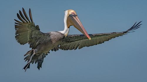 Brown pelican (Pelecanus occidentalis)