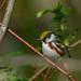 Chestnut-sided Warbler (explored 2/19/19) by jonathanirons28