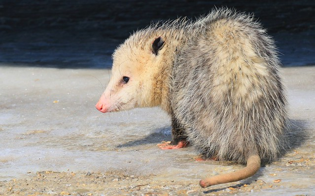 Virginia opossum at Lake Meyer Park IA 653A2186