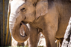 Asian elephant curling his trunk