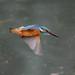 Kingfisher 190317028-2.jpg