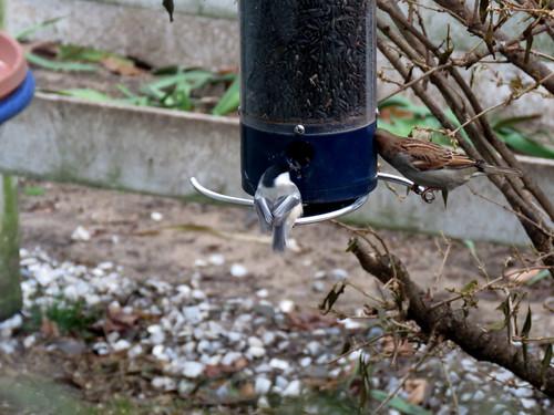 chickadee & sparrow