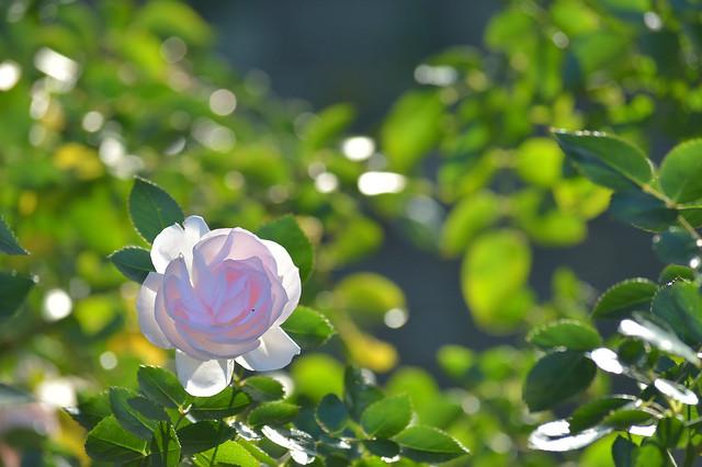 冬のバラ~アスピリンローズ