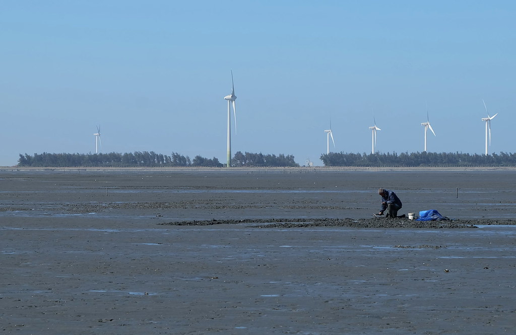 泥灘地生態與居民的關係:採集野生赤嘴蛤(環文蛤)的漁民。陳文姿攝於彰化泥灘地。
