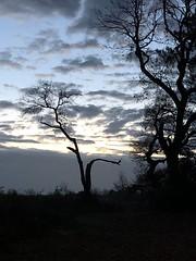 Chêne cassé (Labouheyre, Landes, France - 40)