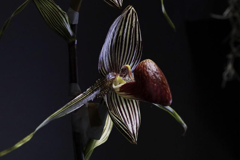 Paphiopedilum rothschildianum  パフィオペディラム・ロスチャイルディアナム