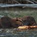 Snake River Beavers