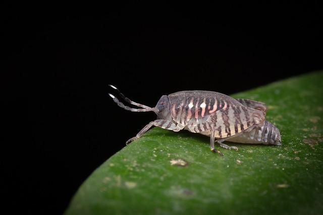 Orthoptera A