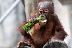 Young Orangutan Eating Lettuce