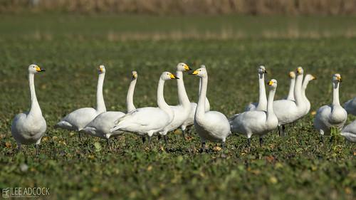 Whooper Swan's