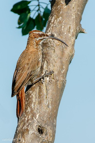 Chinchero Grande -Scimitar-billed Woodcreeper#2