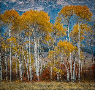Aspens At Their Best By Ron Szymczak Award Class A DPI & DPI Of The Month Feb. 2019 | by Central DuPage Camera Club