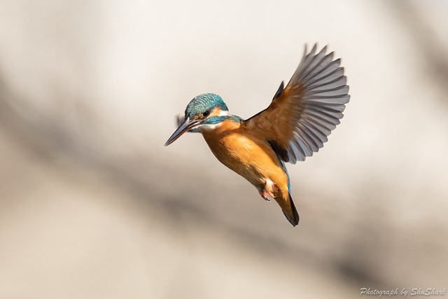 20190223-kingfisher-DSC_1512