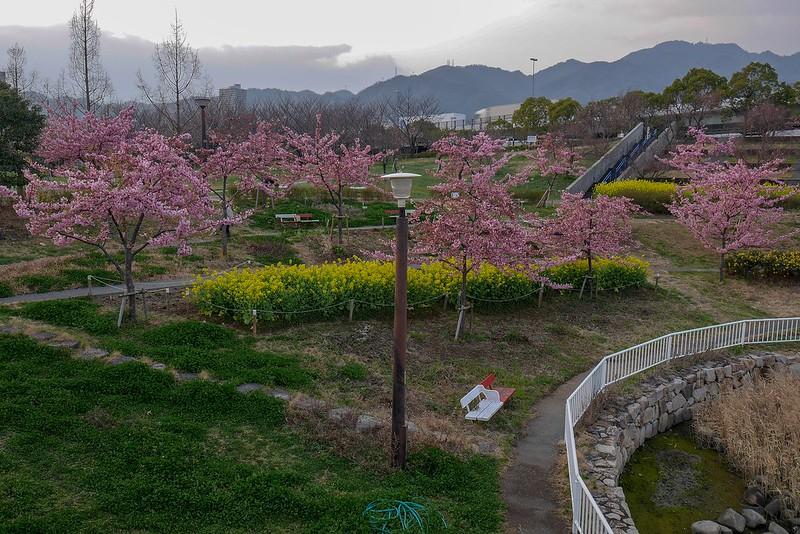 西郷川河口公園 河津桜 開花 見頃 2019