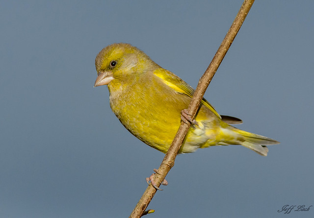 Greenfinch..