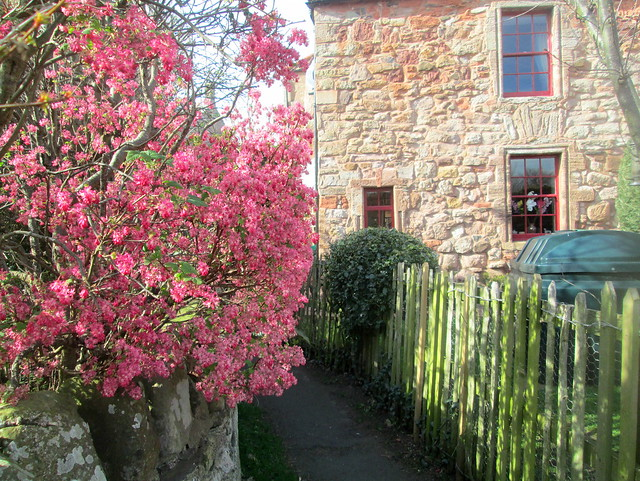 Flowering currant, Cockburnspath, Berwickshire. Scotland