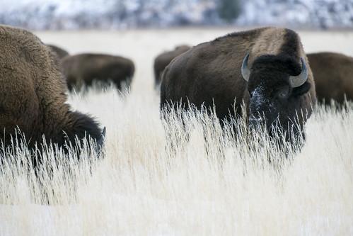 Yellowstone & The Tetons