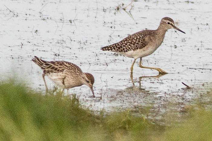 Wood Sandpiper  and Sharp-tailed Sandpiper