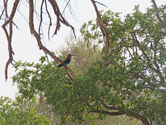 lilac-breasted roller; s luangwa natl prk