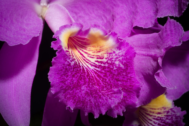 Photo:[Venezuela] Cattleya lueddemanniana 'Paul Drago' Rchb.f., Xenia Orchid. 1: 29 (1854) By sunoochi