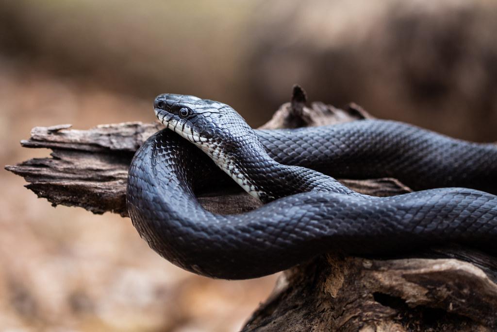 large black rat snake