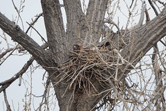 Red-Tailed Hawk Sitting in Nest