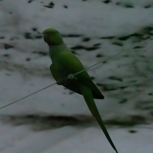 Butterfly Farm: parakeet